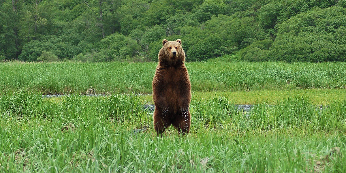 Kodiak Island Brown Bears