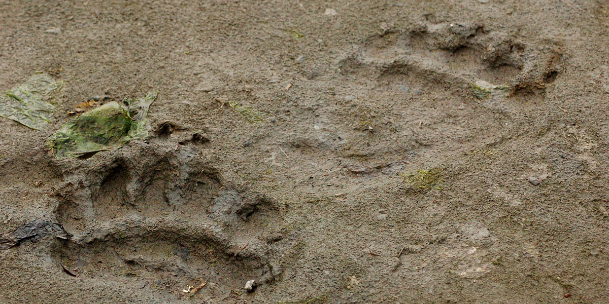 Brown Bear Footprints