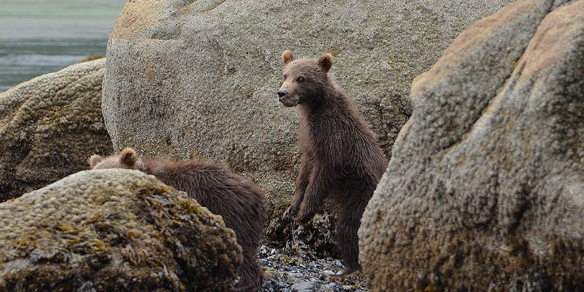 Alaska Brown Bear Cubs