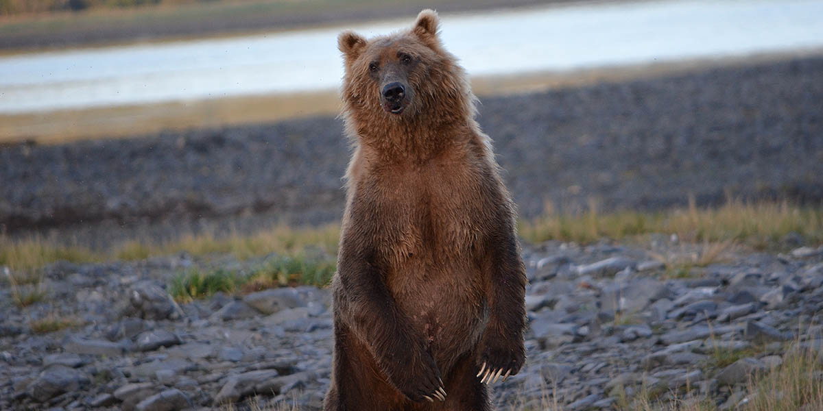 Curious Brown Bear